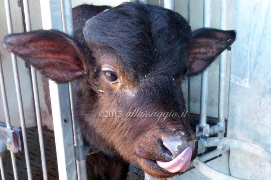Baby bufala