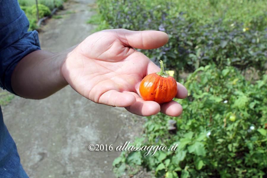 melanzana-rossa-di-rotonda